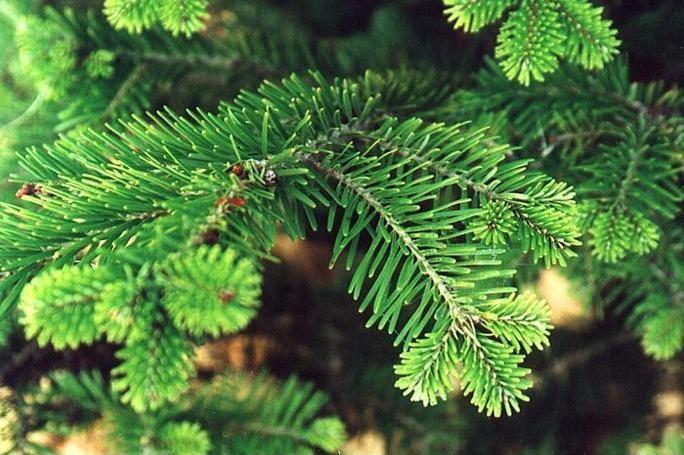 5 вещей, на которые надо обратить внимание при выборе живой елки (7 фото)