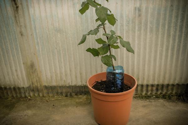 Как вырастить розу из картошки (3 фото)