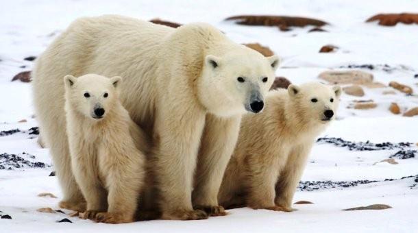 Интересные факты из жизни полярных медведей (26 фото)