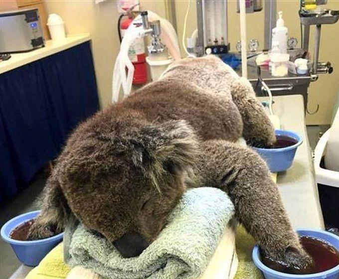 Австралия: помогают коалам, получившим ожоги и-за лесных пожаров (7 фото)