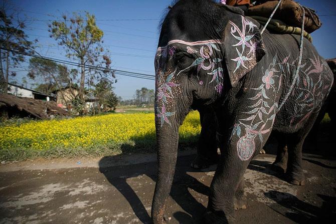 Фестиваль слонов в Непале (25 фото)