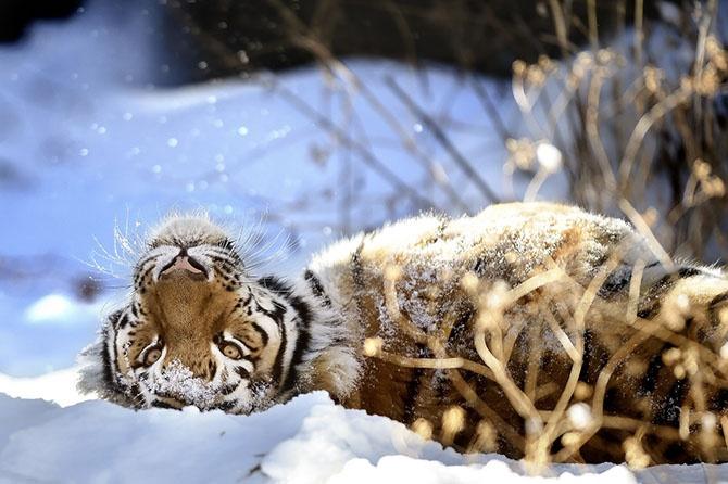 Лучшие фотографии животных за неделю (22 фото)