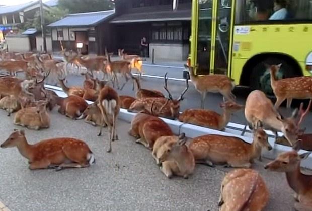 Олени заняли дорогу в Японии (1 фото + 1 видео)