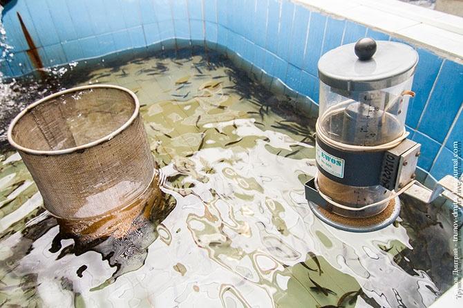 Как выращивают сёмгу и лосось (36 фото)