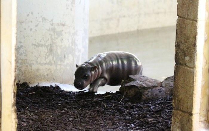 Встреча с новорожденным бегемотиком (10 фото)