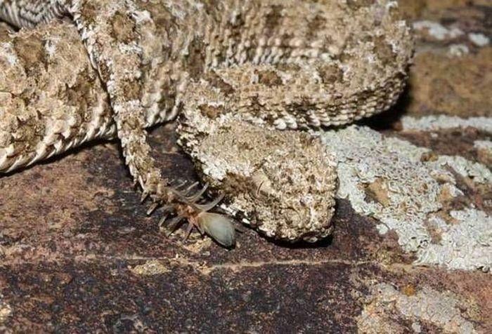 Редкая и страшная - ложнорогая гадюка (5 фото)