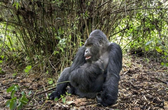 Нападение гориллы на человека (8 фото)