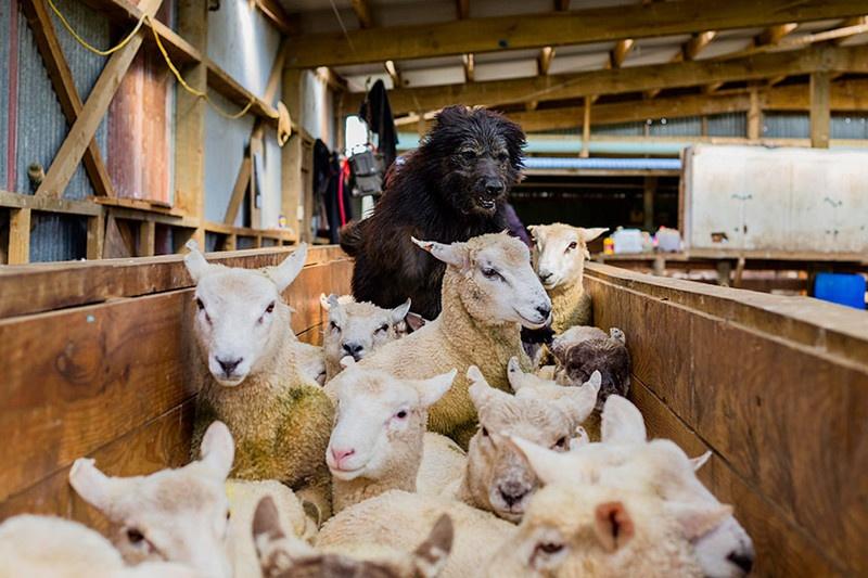 Фото собак-помощников (20 фото)