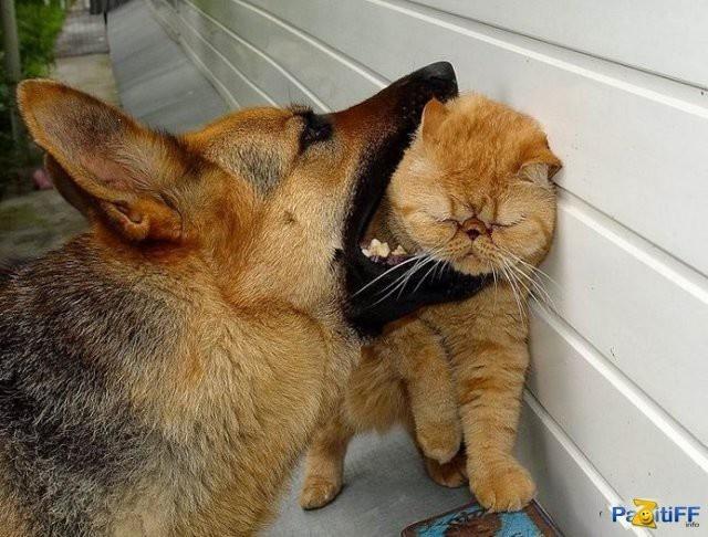 Собака-убийца бросается на ужинающего кота