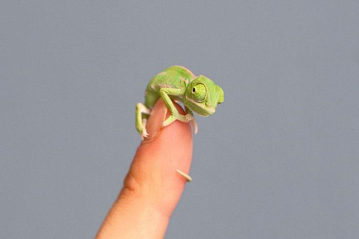 Как выглядят новорожденные хамелеоны (11 фото)