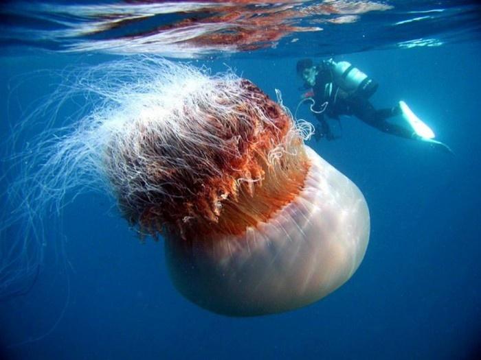 Интересные факты о гигантской медузе - арктической цианеи (17 фото)