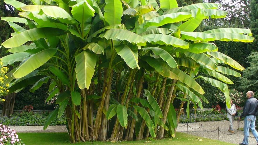 Растения - рекордсмены (10 фото)