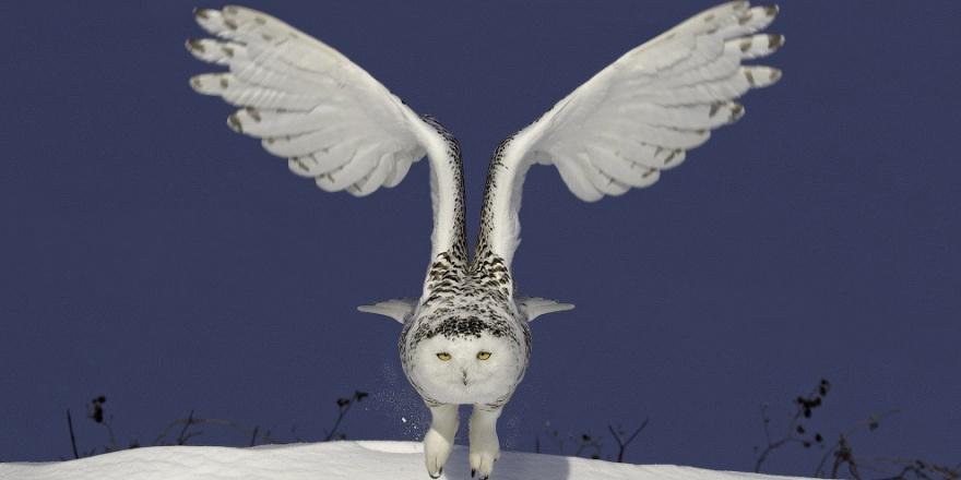 Красивые фото полярной совы (8 фото)