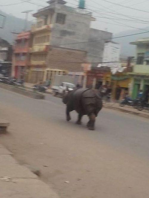Разъяренный носорог в непальском городе (4 фото)