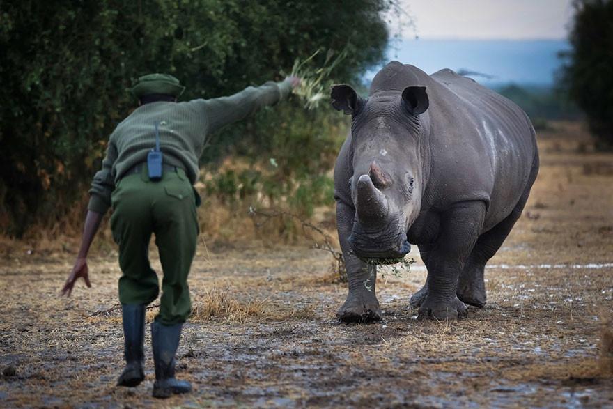 Последний в мире белый носорог (10 фото)