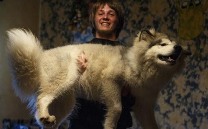 4 фотографии маламута - от щенка до взрослой собаки