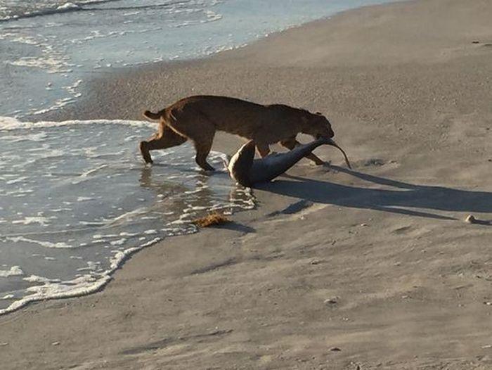 Редкий снимок - рысь поймала небольшую акулу