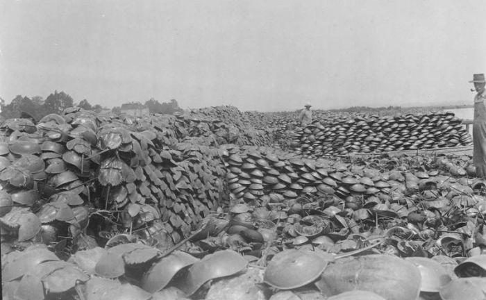 Как добывали мечехвостов в прошлом веке (4 фото)