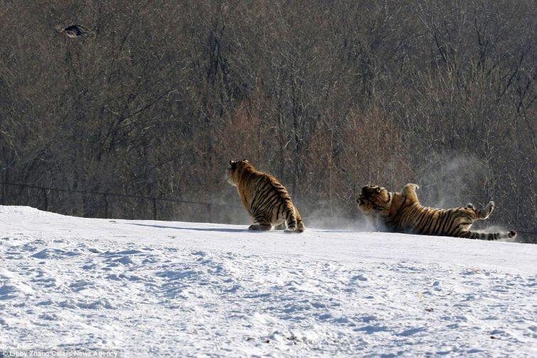 Комичное падение тигра (6 фото)