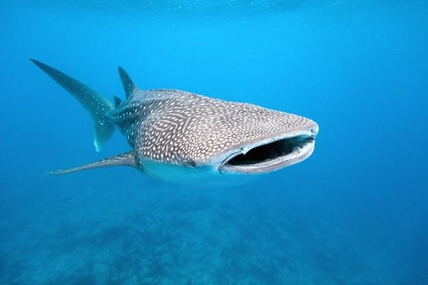 Интересные факты об акулах (10 фото)
