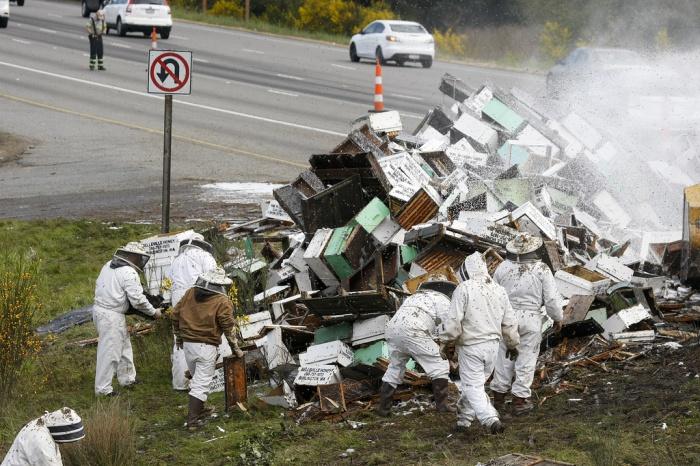 Авария грузовика с пчелами и ее последствия (15 фото и видео)