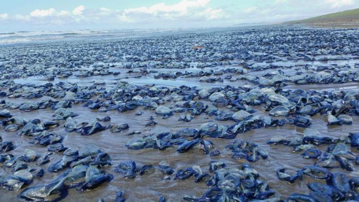 Нашествие медуз на пляжи Калифорнии (5 фото)