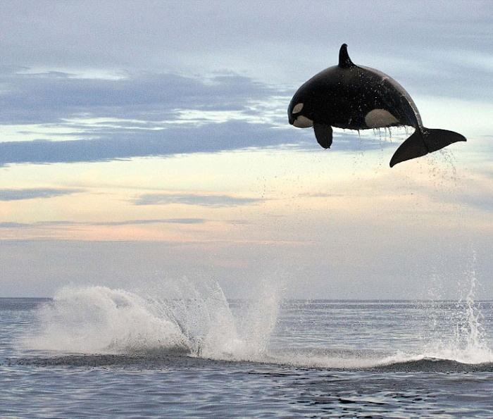 Касатка, весящая 8 тонн, совершает огромный прыжок из воды (4 фото)