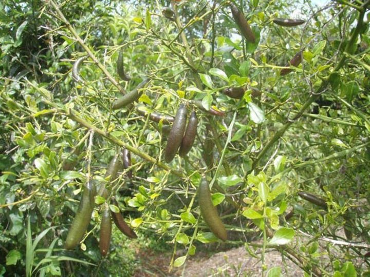 Непривычные для нас виды цитрусовых (10 фото)