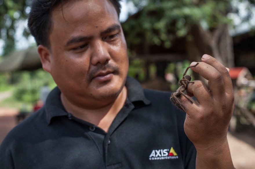 Как охотятся на тарантулов в Камбодже (10 фото)