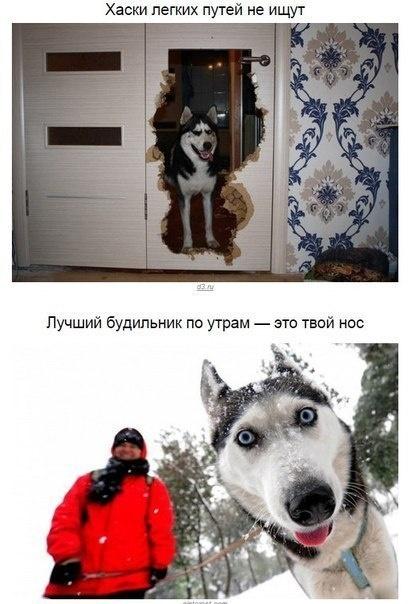 Правила, по которым живет каждая хаски (10 фото)