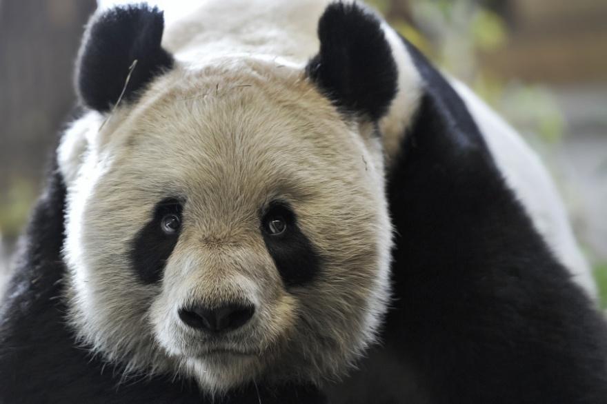 42 прикольных фото панд