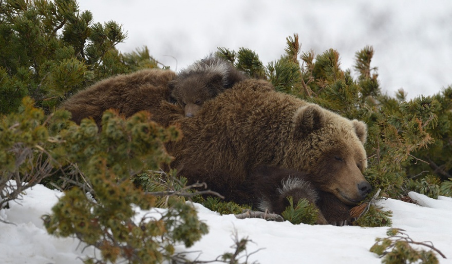 Редкие фото медвежат с матерью в естественных условиях (10 фото)