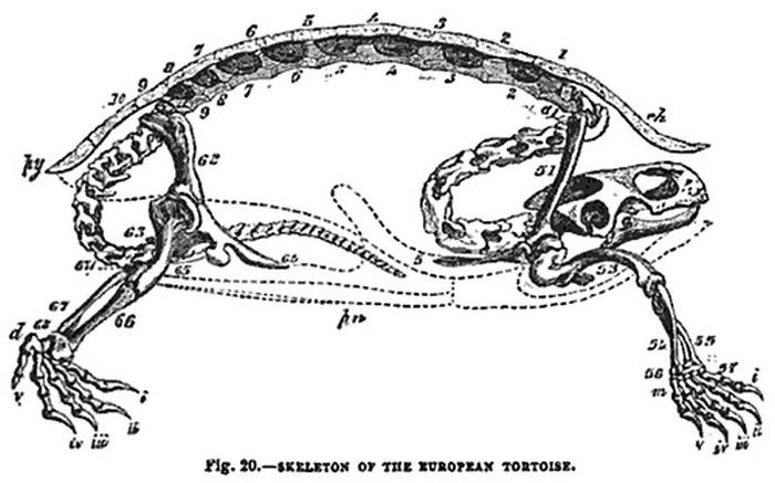 Как устроена черепаха (3 фото)