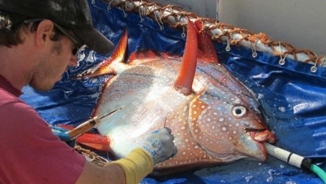 Первая известная науке теплокровная рыба (2 фото и 1 гифка)