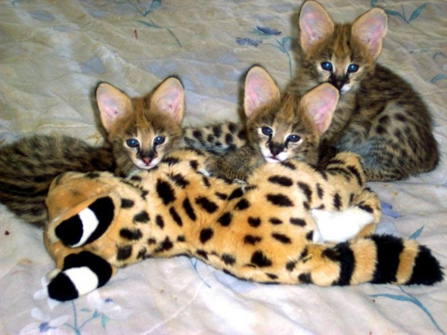 Необычные породы и гибриды собак и кошек