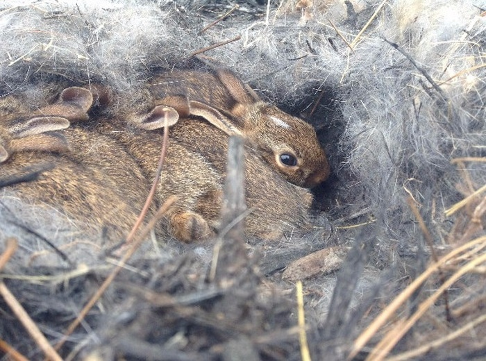 Кроличье гнездо на клумбе (6 фото)
