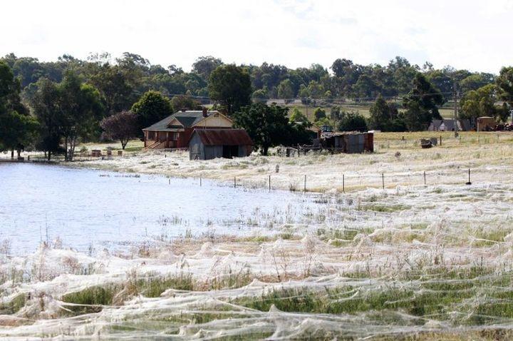 Как выглядят массовые миграции пауков (11 фото)