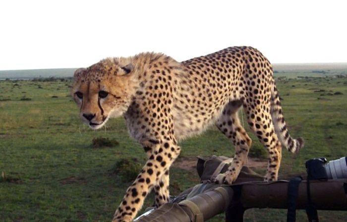 В кенийском заповеднике гепард оказался в машине с туристами (10 фото)