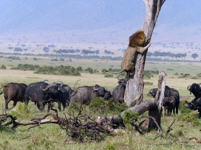 Неудачная охота льва (5 фото)
