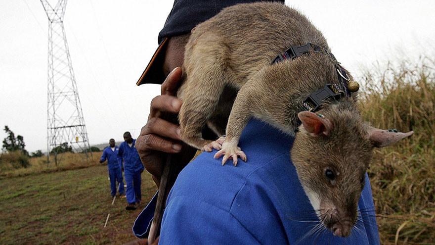 Крысы-саперы (12 фото)