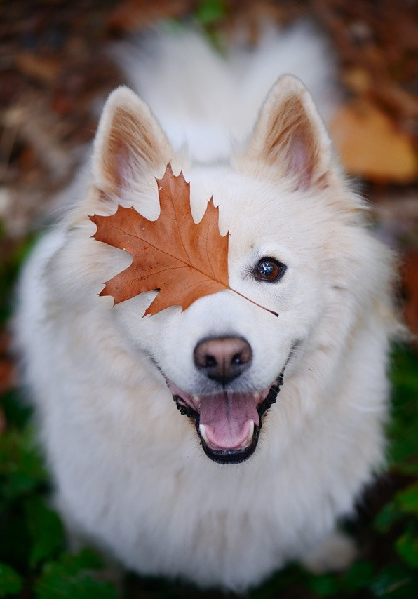 Классные фотографии собак породы самоед (11 фото)