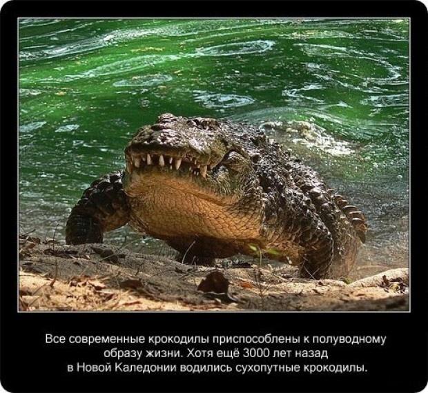 20 интересных фактов о крокодилах (20 фото)