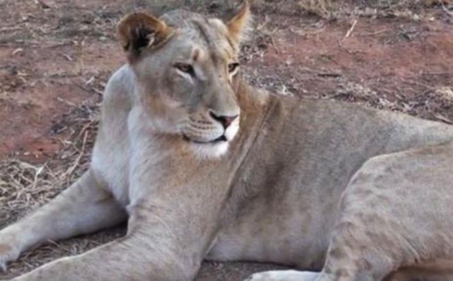 Руководство сафари-парка решило оставить в живых львицу, убившую посетительницу
