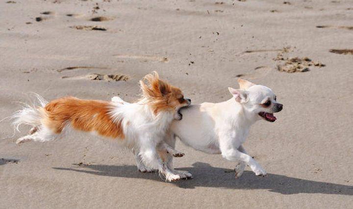 10 интересных фактов о собаках породы чихуахуа (10 фото)