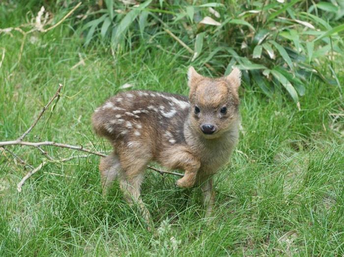 Детеныш одного из самых маленьких оленей в мире (4 фото и 1 гифка)