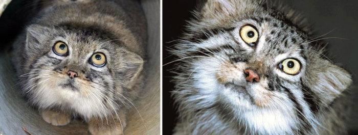 Милые и опасные дикие коты - манулы (25 фотографий)