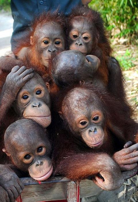 Ежедневное путешествие маленьких орангутангов (7 фото)