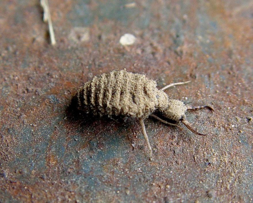 Необычные и пугающие насекомые (10 фото)