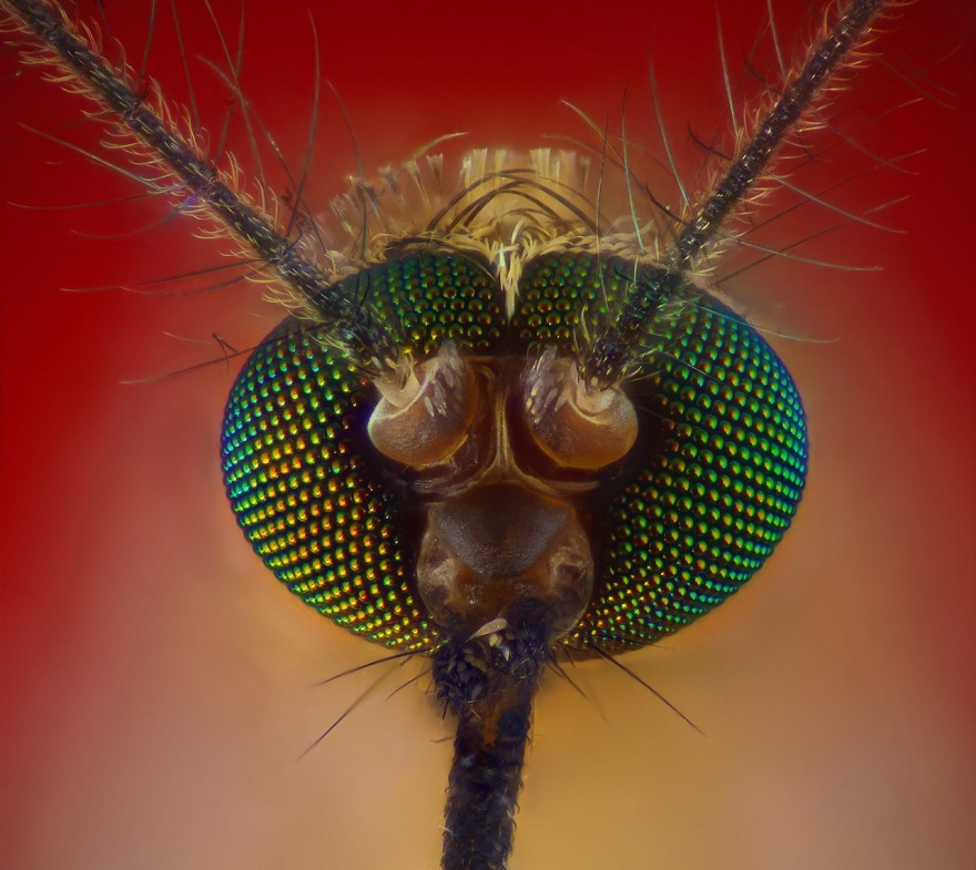 Как устроено жало комара (8 фото)