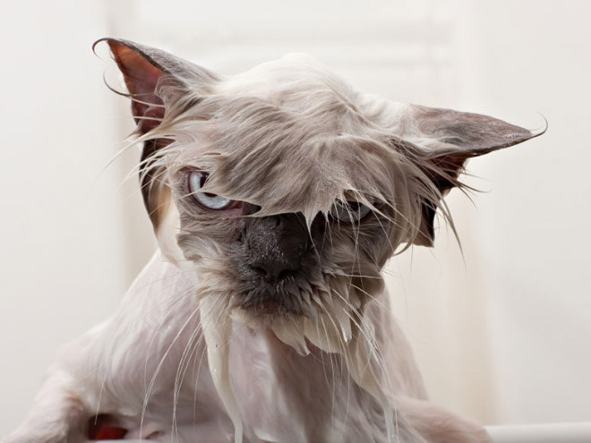 Жестокие фото котов после принятия ими водных процедур (27 фото)